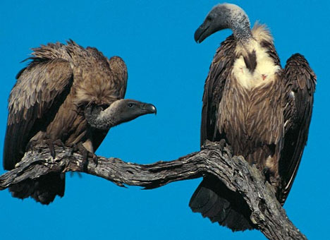 two-vultures