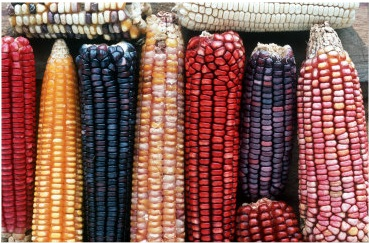 mexican-maize-varieties