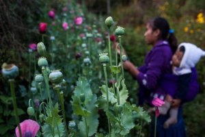 Poppy field in Guerrero. Rodrigo Cruz for The New York Times